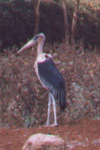 Huge Stork Strutting